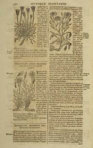 salsifis-cote10849-1