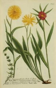salsifis-cote10985-planche978